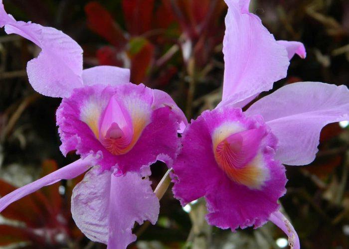 orquide6