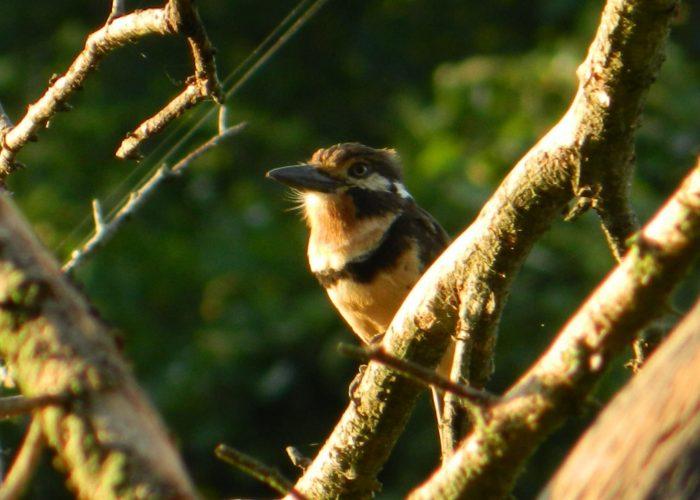 www.tolimabiodiversa.com - Russet-throated Puffbird - Hypnelus ruficollis
