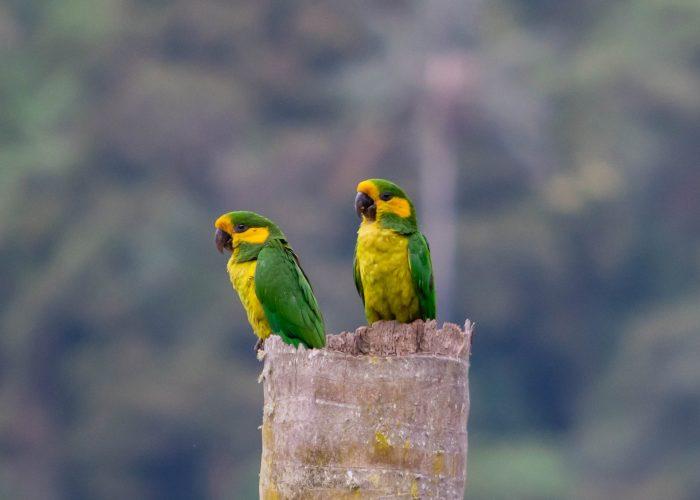 www.tolimabiodiversa.com Yellow-eared Parrot - Ognorhynchus icterotis Expediciones - Espinosa